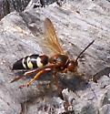 Wasp? - Sphecius speciosus