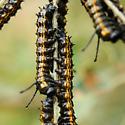 Caterpillar on Oak. Species? - Anisota senatoria