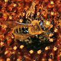 bee  - Andrena helianthi