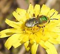 Green Bee - Agapostemon