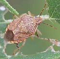 Heteroptera - Podicus placidus? - Podisus placidus