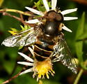 Syrphid fly - Eristalis dimidiata - male