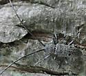 beetle 3 - Microgoes oculatus