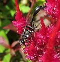 Thread Waist Wasp? - Eremnophila aureonotata