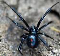 Black spider (Latrodectus sp.?) - Latrodectus variolus