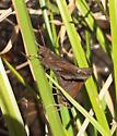 Mating skippers - Lerema accius - male - female