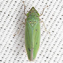 Waterlettuce Leafhopper - Draeculacephala inscripta