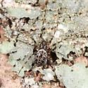Sheetweb spider - Drapetisca alteranda