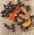 Pavement Ants? - Tapinoma sessile