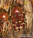 Euphoria leucographa