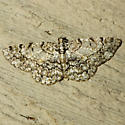 Porcelain Gray Moth - Hodges #6598 - Protoboarmia porcelaria - female
