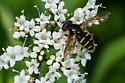 Flower Fly - Sericomyia chalcopyga