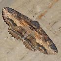 Lunate Zale Moth - Hodges #8689 - Zale lunata