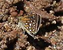 Arizona lepidopteran - Piruna aea