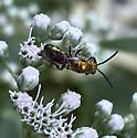 Which Sweat Bee? - Augochlora pura