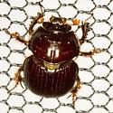 Earth-Boring Dung Beetle - Eucanthus lazarus