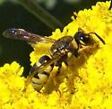 Potter Wasp? - Euodynerus