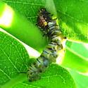 Monarch Parasitism? - Danaus plexippus