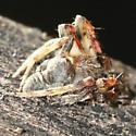 Hog Nose Spider? - Lateral