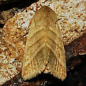 Tobacco Budworm Moth - Hodges#11071 - Chloridea virescens