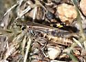 Coral-winged Grasshopper? - Camnula pellucida - female