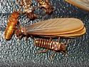 Termitoidae? termites - Tenuirostritermes tenuirostris