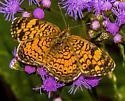 Phyciodes species? - Phyciodes tharos
