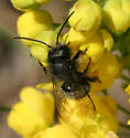 Blue Orchard Bee - Osmia lignaria - male