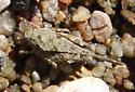 pygmy grasshopper - Paratettix cucullatus - female
