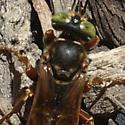 Orange and brown wasp - Tachytes distinctus - female