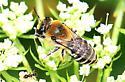 bee with white stripes on black abdomen - Colletes