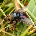 Red bottomed fly - Archytas metallicus