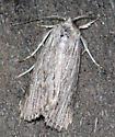 Fine-lined Sallow - Catabena lineolata - Catabena lineolata