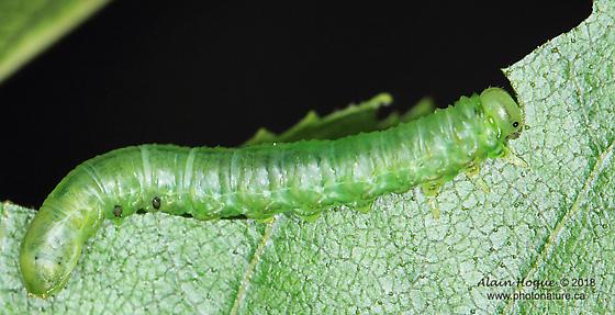 Caterpillar - Nematus