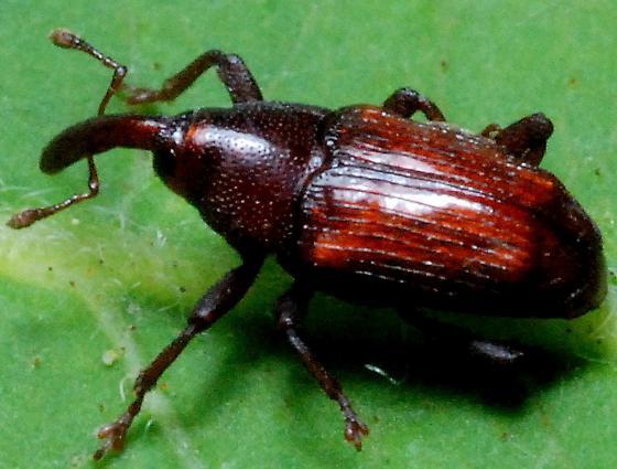 Reddish Weevil on Grape vine - Ampeloglypter