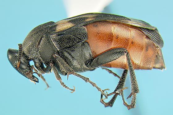 Ripiphorid - Macrosiagon pectinata - female