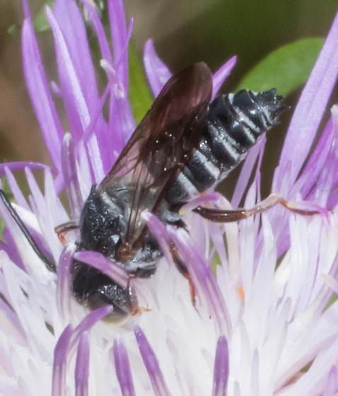 White-edged bee - Coelioxys