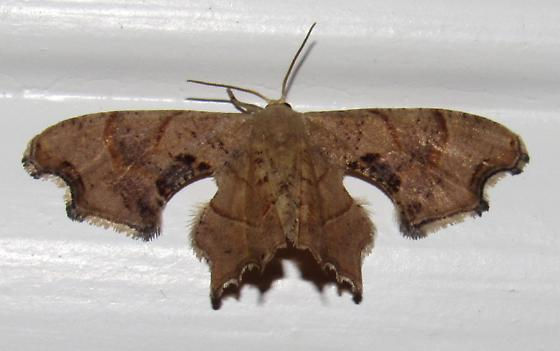 Brown Scoopwing - Hodges#7653 - Calledapteryx dryopterata