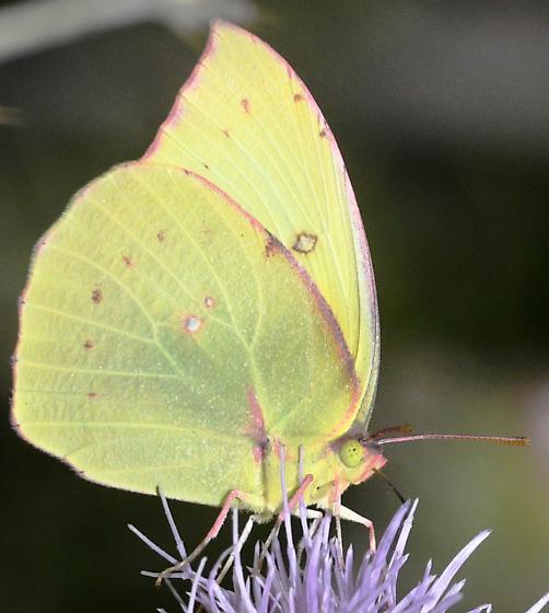Sulpher Butterfly - Zerene eurydice