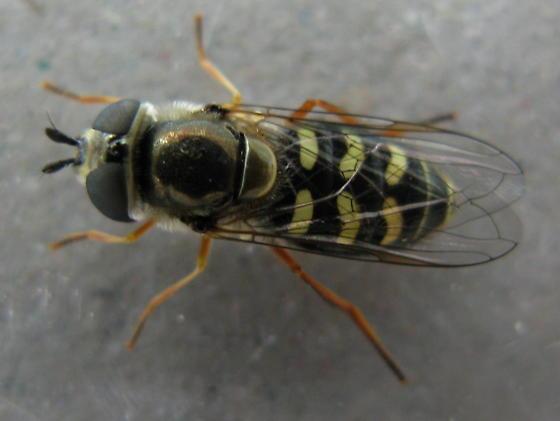 Diptera - Eupeodes volucris - female