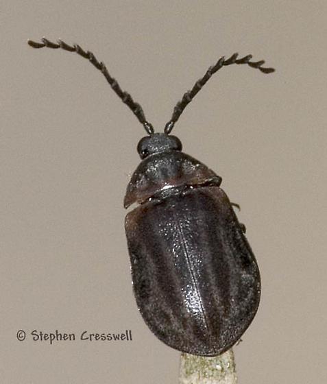 Odd Beetle - Ectopria nervosa