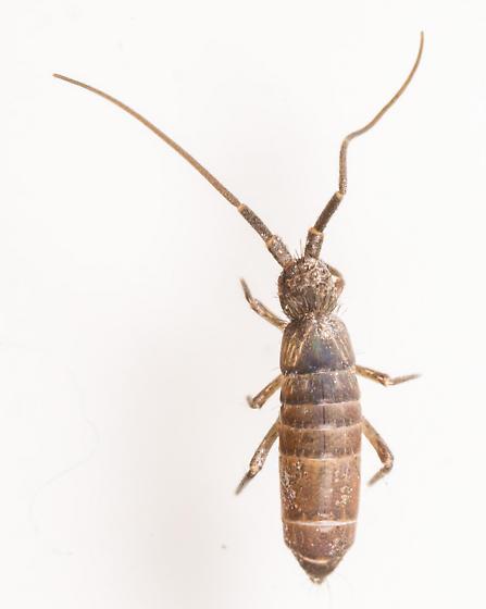 Large Springtail - Pogonognathellus
