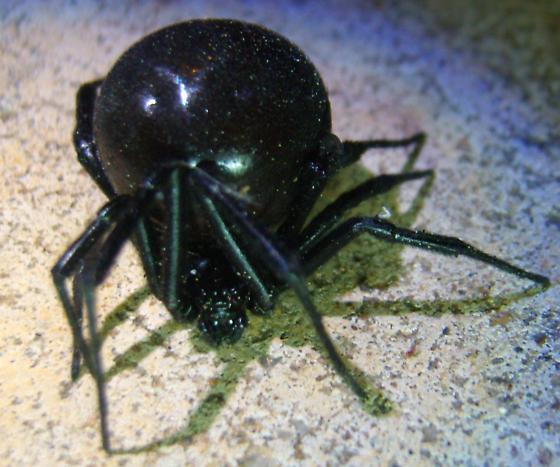 Looking for Gender of Black Widow - Latrodectus mactans