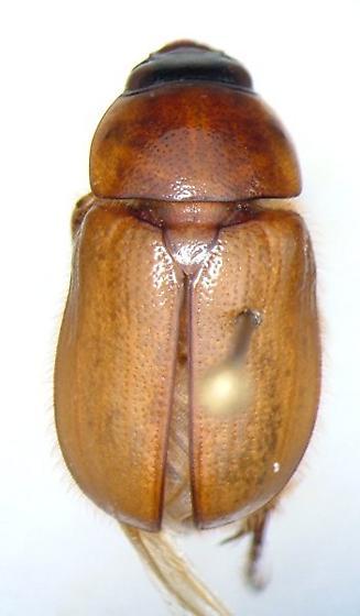 Cyclocephala parallela - male