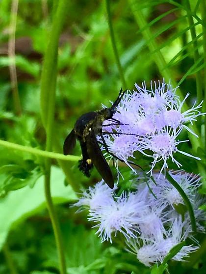 Unknown Diptera on Mistflower ??????? - Lepidophora lepidocera