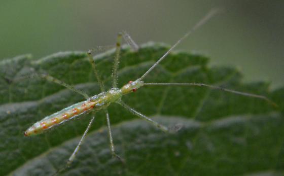 Assassin Bug Nymph - Zelus luridus