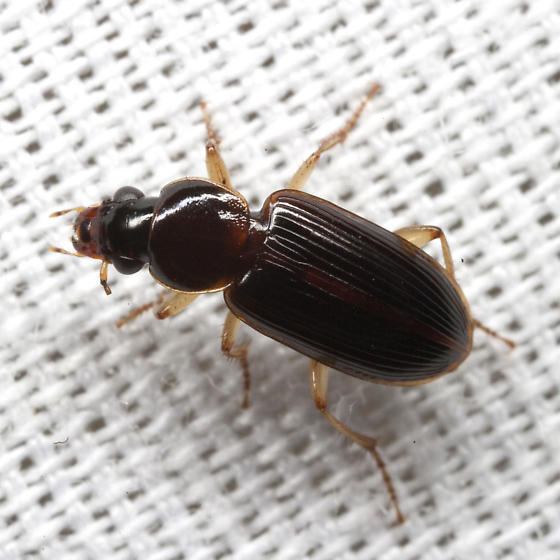 Seedcorn Beetle - Stenolophus ochropezus
