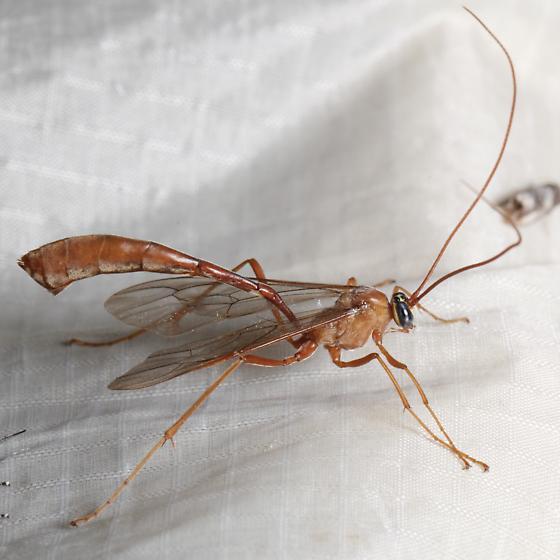 Ichneumon - Enicospilus