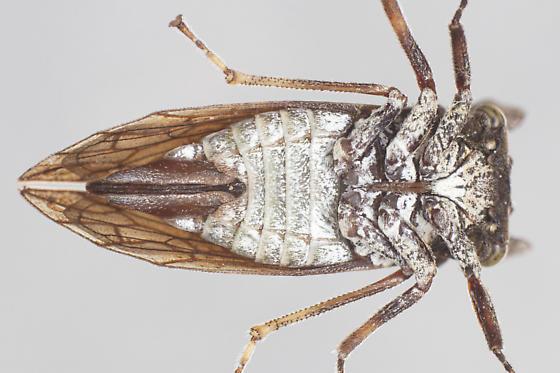 Microcentrus perditus - female