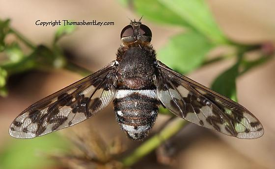 Bee Flies - Ligyra cerberus